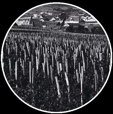 D couvrez la production des plants de vigne de champagne for Porte greffe